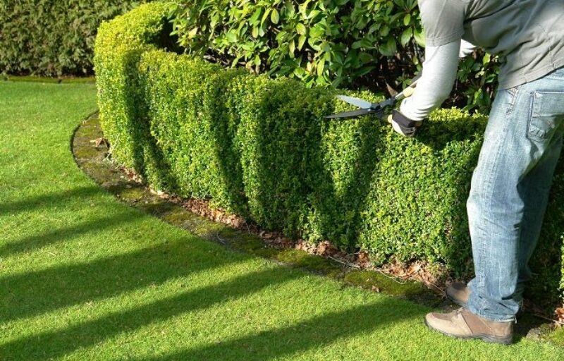 gardener-trimming-hedges
